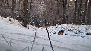 Wilki podchodzą coraz bliżej Olsztyna