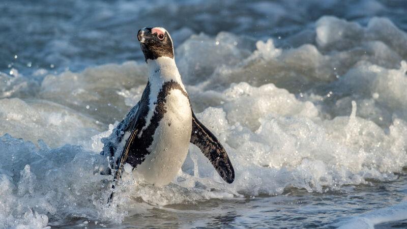 Tak wygląda pingwin przylądkowy (Spheniscus demersus) (Shutterstock)