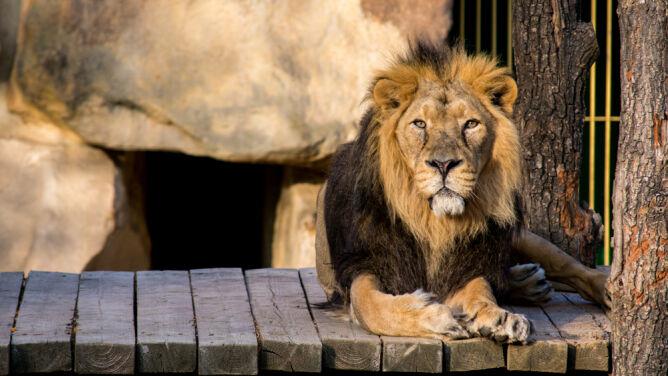 Dwa lwy i goryl z zoo w Pradze mają koronawirusa