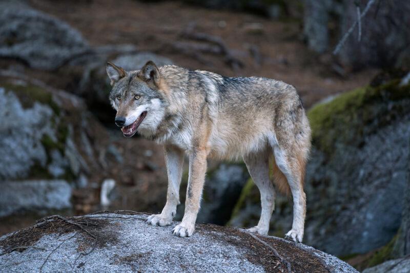 Współcześnie żyjący wilk szary (Shutterstock)