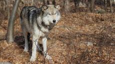 Amerykanie wybijają wilki setkami